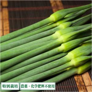 【約1週間限定販売】無臭にんにくの芽 500g 県特別栽培 (青森県 須藤農園)産地直送|fs21