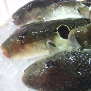 活き〆とらふぐ鍋(ふぐ皮付)セット(3〜4人前)【国産】(冷凍)|fugu