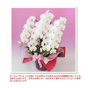 胡蝶蘭5本立ち50輪 スタンダード4色 金賞受...の詳細画像2