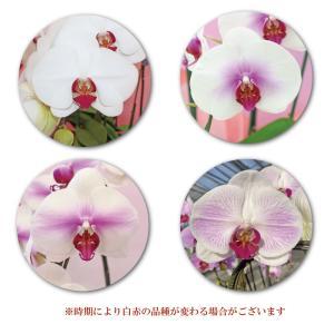 胡蝶蘭5本立ち50輪 スタンダード4色 金賞受...の詳細画像5