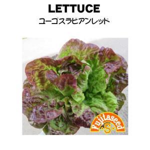 野菜 タネ 種 レタスユーゴスラビアンレッド 藤田種子|fujitaseed