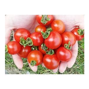 横井さんのフルーツトマト(1kg)|fukinoto