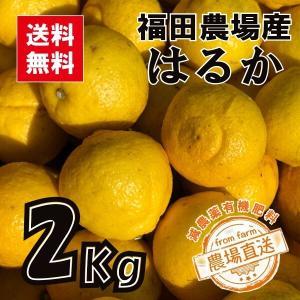 はるか みかん 2kg 秀品 送料無料(東北北海道除く) 熊本 福田農場 お試し 7玉から8玉前後 Lから2Lサイズ|fukuda-farm