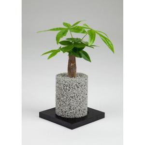 eco-pochiシリンダーしろパキラ|fukumimi-shoten