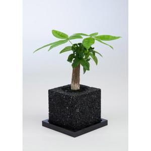 eco-pochiキューブくろパキラ|fukumimi-shoten
