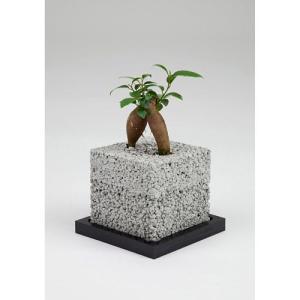 eco-pochiキューブしろガジュマル|fukumimi-shoten
