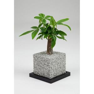 eco-pochiキューブしろパキラ|fukumimi-shoten