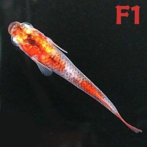 (メダカ) 紀州三色めだか 【F1】 10匹セット / 三色錦 F1 淡水魚