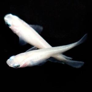 (メダカ) ピュアホワイトめだか 未選別 稚魚(SS〜Sサイズ) 10匹セット / 白 ピュアホワイト 淡水魚