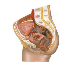 女性骨盤断面模型 gakurin