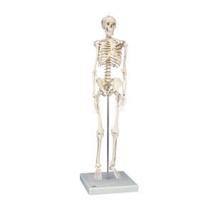 人体骨格模型 小型骨格模型 A18 gakurin