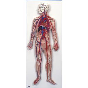 血管系模型 血液循環系模型 1/2倍大モデル gakurin
