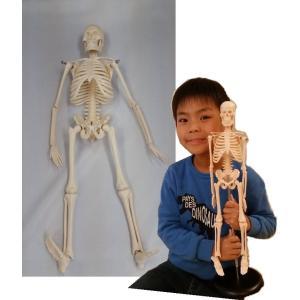 人体骨格模型(ミニ骨格模型) 42cm /人体骨格 人体模型  骨格模型 医療専門学校活用  gakurin