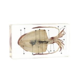 プラスチック封入標本 イカの解剖