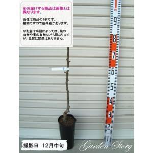 【ゼネラル・レクラーク】   1年生接木苗 洋梨・ナシ [果...
