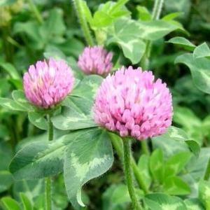 【種子】アカクローバー 500g カネコ種苗|gardeningivy