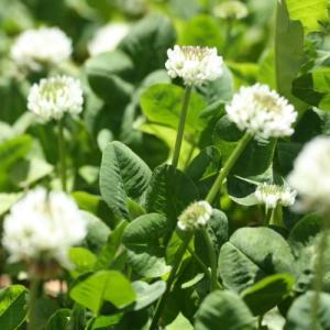 【種子】 シロクローバー(ホワイトクローバー) お徳用500g袋! カネコ種苗のタネ|gardeningivy