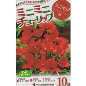 【花球根】ミニミニチューリップ リニフォリア 10球入の商品画像