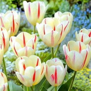 【花球根】 チューリップバラ売り球根!2色咲きトライアンフ系(T)ガットゲット1球