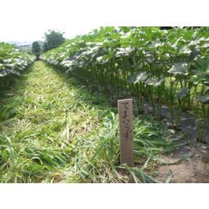 緑肥作物として、ポリマルチや敷き藁の代わり、雨季の表土乾燥防止、湿害対策、泥はね減少などによる病害制...
