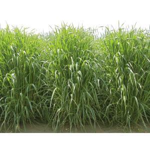 ●根物野菜の大敵キタネグサレ線虫の抑制に抜群の効果! ●初期生育が早く雑草を抑え多量の有機物が得られ...