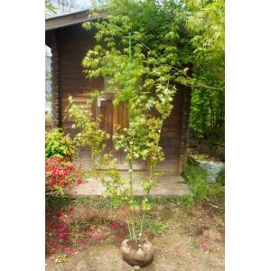イロハモミジ 株立ち カエデ 樹高1.8m前後(樹高/根鉢含む) 綺麗な樹形