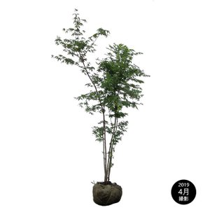イロハモミジ!カエデ 株立ち 樹高1.5m前後(樹高/根鉢含む) 綺麗な樹形