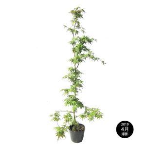モミジ(紅葉)/イロハモミジ(伊呂波紅葉) 単木 樹高1.0m前後 ポット苗 シンボルツリー 落葉樹