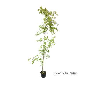 【大特価!!】モミジ(紅葉) イロハモミジ 苗木 シンボルツリー 落葉樹 単木 樹高1.5m前後 ポ...