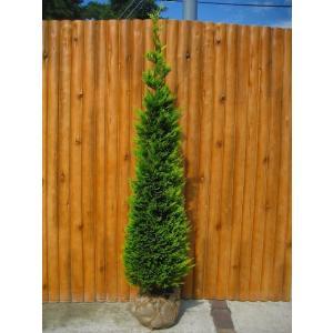 ゴールドライダー 樹高1.5m前後 露地苗 シンボルツリー 常緑樹
