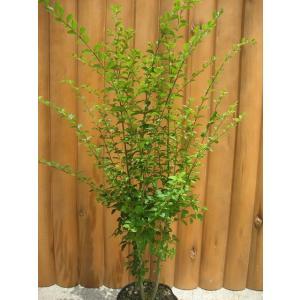プリペットは萌芽力が強いことから庭の生垣や寄せ植えに最適です。 刈り込みにも強く、小さな葉が細い枝に...