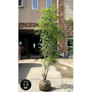 キンモクセイ 樹高1.5m前後(樹高/根鉢含む) 単木 金木犀