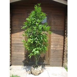 キンモクセイ 樹高2.0m前後(樹高/根鉢含む) 単木 金木犀