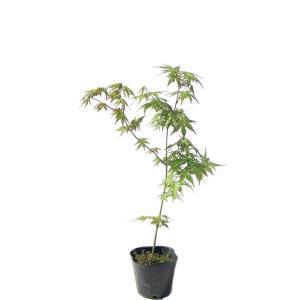 モミジ(紅葉)/イロハモミジ(伊呂波紅葉) 単木 樹高0.5m前後 ポット苗 シンボルツリー 落葉樹