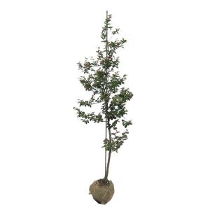 サルスベリ(百日紅)/ナツマツリ(夏祭り) 樹高1.5m前後 露地苗 シンボルツリー 落葉樹