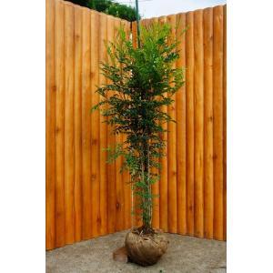 シマトネリコ 株立 樹高2.0m前後 露地苗 シンボルツリー 常緑樹