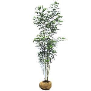 【大型商品】シマトネリコ 株立 樹高2.5m前後 露地苗 シンボルツリー 常緑樹