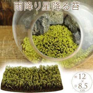 苔 テラリウム 手軽に 栽培 観葉 苔園芸 苔 雨降り星降るスナゴケ M (クリアパッケージ)