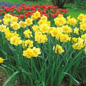 球根 秋植え 栽培 春に咲く 花 花壇 趣味 園芸 水仙球根 タヒチ (3球セット)|gardenyouhin