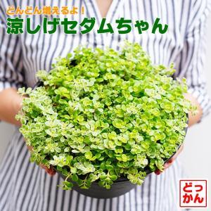 送料無料 涼しげセダムちゃん(多肉植物)9号大鉢(直径27センチの鉢) 斑入り セダム