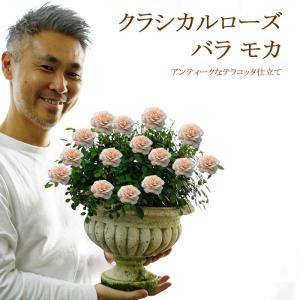 クラシカルローズ バラ モカ 送料無料 四季咲き 秋にピッタリな美しいバラ 販売 鉢植え販売|gekihana