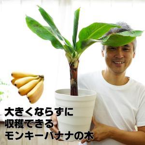 コンパクト品種だから鉢植えで楽しめる!バナナ!! 【送料無料】来年には収穫できるかも!コンパクトで育...