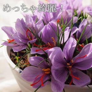 花はクロッカスに似てますが、咲く時期が違うんですね〜。暑い時期に咲いてくれて涼しげな花色が最高です!...