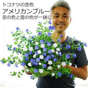 アメリカンブルーとホワイトの混色植え 7〜8号大鉢 耐暑性 暑さに強い 花柄摘み不要 送料無料|gekihana