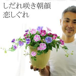 あさがお しだれ咲き 朝顔 恋しぐれ 6号(18センチの鉢)送料無料 2色以上の花色を寄せ植え お昼過ぎまで咲く 秋まで咲く 斑入り葉の手間なし|gekihana