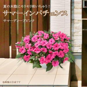 送料無料 サマーインパチェンス ディープピンク 7号 玄関用の大鉢仕立て 夏 鉢植え 暑さに強い 花 日陰 室内もOK|gekihana