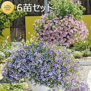 スーパーチュニア(ペチュニア)ミニブルースター&ミニピンクスター 6苗セット 送料無料|gekihana