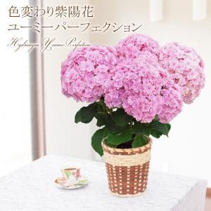 母の日 ギフト 2018 鉢植え 鉢花 あじさい 紫陽花 ユ...