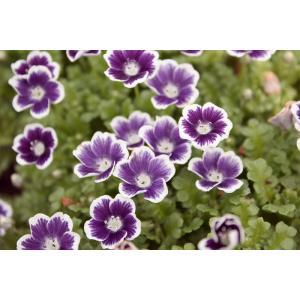 ネモフィラ ブルーベリーアイズ 10.5センチポット 24苗セット 送料無料 ガーデニング用 花 苗 販売 一年草 寄せ植え 花壇苗