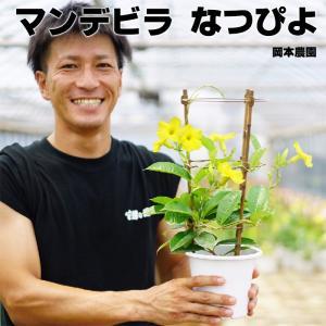 マンデビラ デプラデニア 送料無料 黄色 なつぴよ 5号 希少です  耐暑性 暑さに強い 夏の花 鉢植え|gekihana